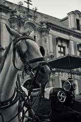 Taxi? (Lu   Samsara) Tags: horse white black animal sevilla spain nikon andalucia luisa cavallo bianco nero animale spagna iervolino d5000