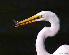 Grande Aigrette / Great Egret (Eric Bgin) Tags: bird nature wildlife olympus egret ornithology oiseau greategret aigrette sigma135400mm ornithologie supershot specanimal grandeaigrette e520 avianexcellence ericbegin