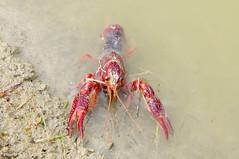 Procambarus clarckii (Selina Zampedri) Tags: mestre crustacea veneto ecologia stagno crostaceo arthopoda alloctono boscodicarpenedo gamberorossodellaluisiana