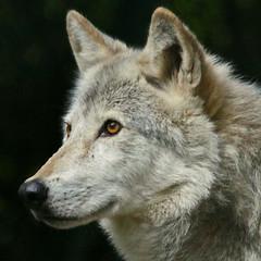 Grey Wolf (Gary Wilson แกรี่ วิลสัน) Tags: ireland dublin photography grey zoo photo wolf foto dublinzoo garywilson phoenixparkcanoneos5dmkii100400lanimalnaturewildlife wolvescaninecanidlupuslobogreygraywolf