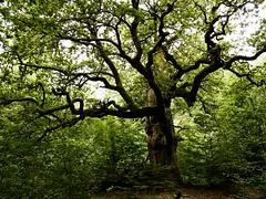 Our Friend - Ent (Arkadious) Tags: wood las trees tree nature forest germany deutschland oak woods hessen natura wald dab bory przyroda drzewo drzewa niemcy bór puszcza dąb hesja