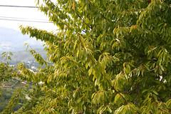 Cerezo Prunus avium - Arbol