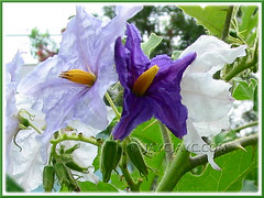 Solanum macranthum or S. crinitum/wrightii (Brazilian Potato Tree, Giant Potato Tree) with gorgeous tricolored blossoms