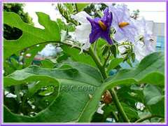 Solanum macranthum (Brazilian Potato Tree, Giant Potato Tree): close-up of lovely flowers and foliage