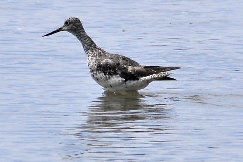 Dance of the Yellowlegs 2