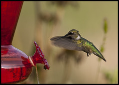 Hummer at glass feeder 4 (Jen St. Louis) Tags: ontario canada birds garden inflight backyard hummingbird elmira feeder rubythroatedhummingbird archilochuscolubris nikkor300mmf4 nikond90 jenstlouis jenstlouisphotography wwwjenstlouisphotographycom jenstlouisphotographycom