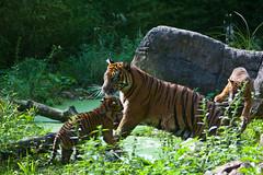 Blijdorp-5615 (Arie van Tilborg) Tags: zoo blijdorp gio hermes alia vanni sumatraansetijger arievantilborg tijgertjes tijgerwelp
