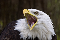 Screamin Eagle (Stephen Ennis Photography) Tags: portrait bird nature closeup mouth eagle head baldeagle raptor screaming birdofprey gauntlet specanimal canon50d tripleniceshot mygearandmepremium mygearandmebronze mygearandmesilver mygearandmegold mygearandmeplatinum mygearandmediamond aboveandbeyondlevel4 aboveandbeyondlevel1 aboveandbeyondlevel2 aboveandbeyondlevel3