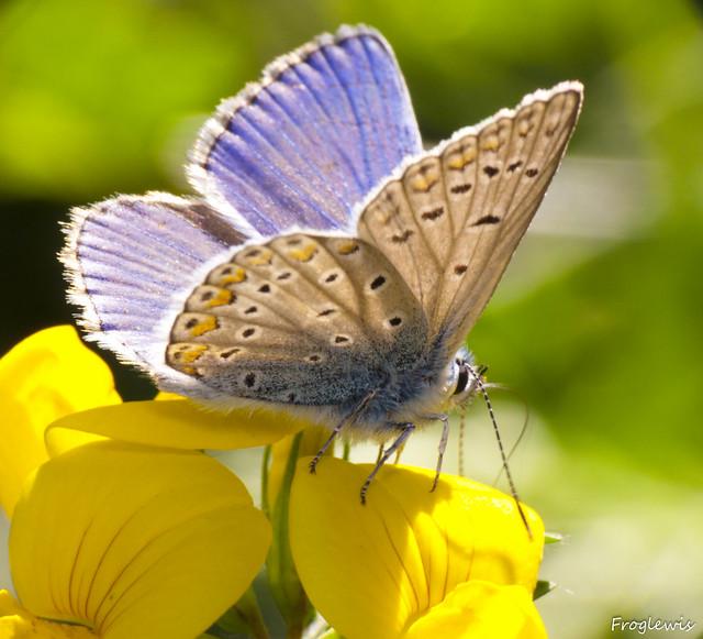Le Bel-Argus ( Lysandra bellargus ) 4991047668_bd8bcda73a_z