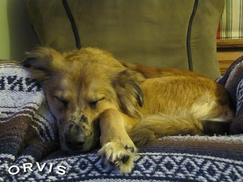 Orvis Cover Dog Contest - Bella