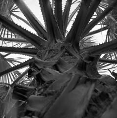 Under the Palm (Gabo Barreto) Tags: 2 tree 6x6 tlr leaves mediumformat dof branches palm lubitel flare diafine tmax400 twinlensreflex gabo expiredfilm barreto oldemulsion gabobarreto