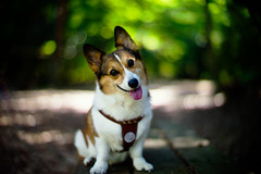 a day in September (moaan) Tags: leica light dog sunlight digital pose 50mm corgi dof bokeh posing f10 kobe shade utata rokko noctilux welshcorgi m9  pochiko leicanoctilux50mmf10 intheshadeofatree leicam9  inashadynook gettyimagesjapanq1 gettyimagesjapanq2