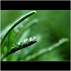 Rosemary fringe (CK_Expresso) Tags: plant macro green nature water lumix droplets focus singapore dof bokeh panasonic rosemary fading lx3 tripleniceshot flickrstruereflection1