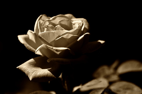 Rose - Light and Shadow