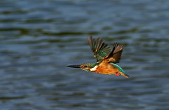 Kingfisher In Flight (jcowboy) Tags: bird nature birds animal animals japan asia wildlife kingfisher aichi 2010 obu kingfishers  specanimal september2010 obuoike