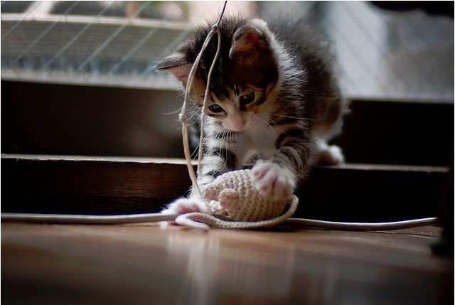 cute rescued tabby kitten playing with a toy