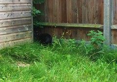 Bonnie hides from the mower (Ledlon89) Tags: pet home cat garden gardening shed lawn bonnie moggie woodenshed ledlon89
