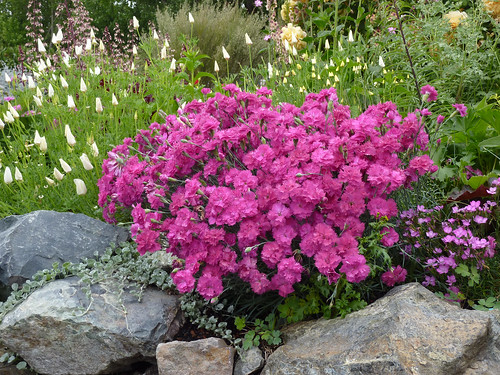 Our new Dianthus