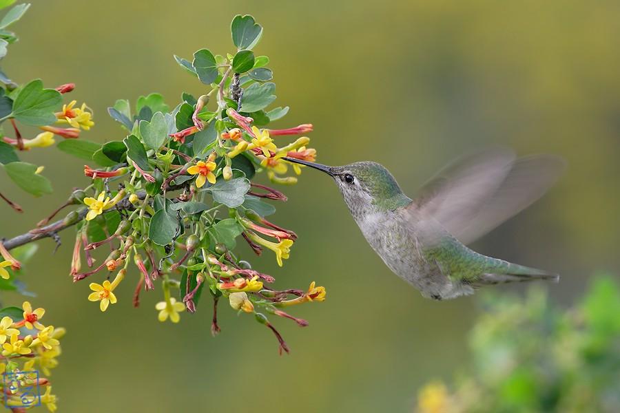 Anna's Hummingbird 04101-2