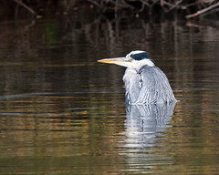 Ever feel like your having one of those day's (Andrew Haynes Wildlife Images) Tags: bird heron nature wildlife coventry warwickshire brandonmarsh canon40d ajh2008