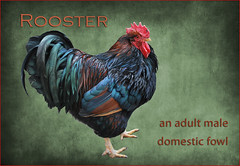 definition rooster dictionary