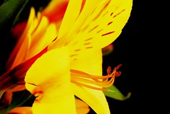 Flowers (blmiers2) Tags: flowers red orange usa newyork flower nature fleur beautiful yellow petals flora nikon dof vibrant flor blossoms lavender bloom blomma faves dreamy  blume blomst vibrance  florets fiorire   nikond40x d40x  4tografie blm18 blmiers2