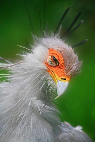 フリー写真素材, 動物, 鳥類, ヘビクイワシ科, ヘビクイワシ,
