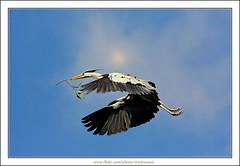 Heron (Ericbronson's Photography) Tags: park bird nature canon interesting singapore pasir ris 40d aplusphoto ericbronson natureselegantshots