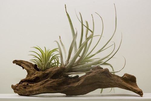 Tillandsia mount