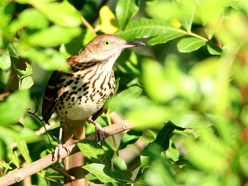 Brown Thrasher 20100919