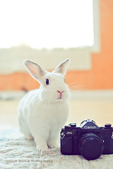 June & camera (Cindy {orange turtle photography}) Tags: pet white rabbit bunny june canon photography broccoli a1