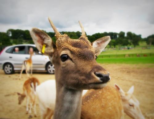 Day 117 - Deer