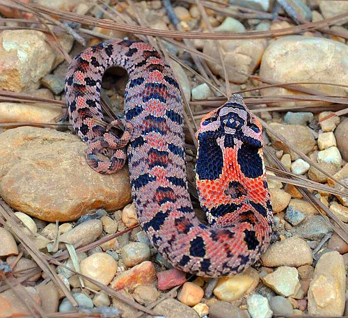 Jan's Hognose Snake, Hognose Snake