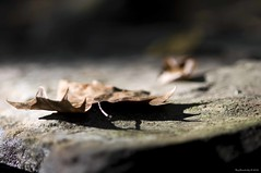Autumn Shadows (raisinsawdust - (aka: withaneyephotography)) Tags: rock stone creek leaf nikon shadows sycamore 2010 creekside riverstone d90 sycamoreleaf nikond90 biokeh