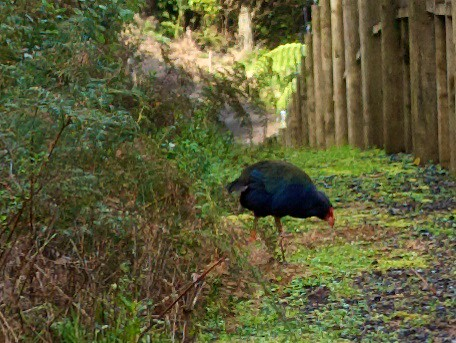 Takahe in Maungatatauri nature reserve, New Zealand