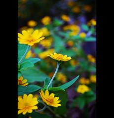 DSC_5946 (mohdhanafiah) Tags: flower dof bokeh kitlens malaysia bunga terengganu kualaterengganu d40 nikond40 manir afsdxnikkor1855mmf35f56gii