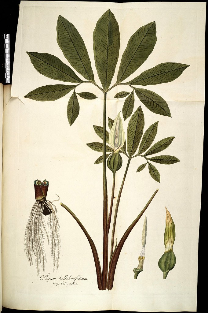 Arum helleoborifolium
