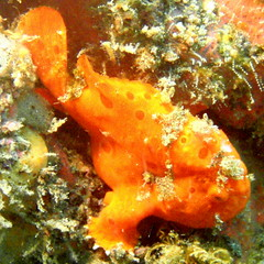 #954 painted frogfish () (Nemo's great uncle) Tags: geotagged underwater painted sealife frogfish izu akazawa   eastizu pictus  antennarius  shizuokaprefecture  paintedfrogfish antennariuspictus   geo:lat=34858609 geo:lon=139088802