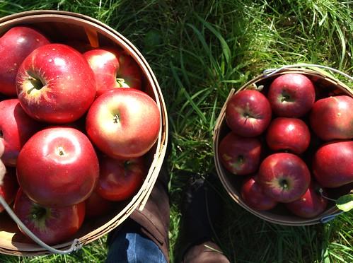 Apples10 026