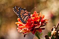 I hit the butterfly motherload! (Jaime973) Tags: flowers beautiful canon wow butterfly 50mm colorful raw motherload