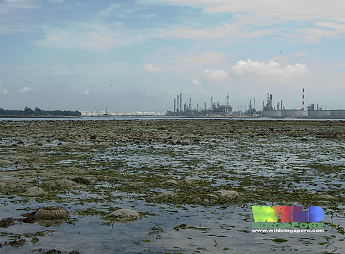 Living seagrass meadows of Terumbu Semakau