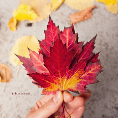 Indian summer (greenicadesign) Tags: red color fall yellow maple leafs indiansummer