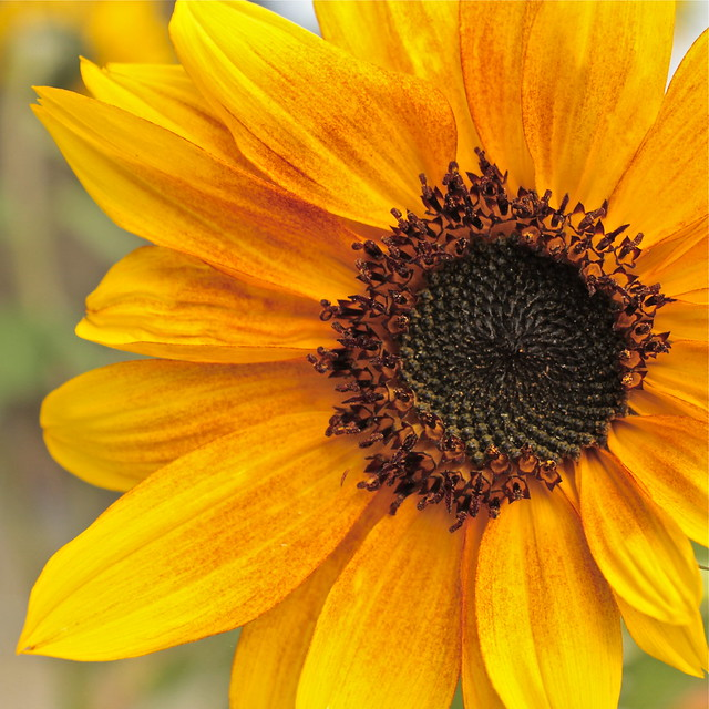 School Yard Sunflower