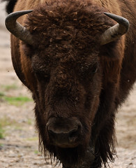 Bison (Optimal Point Photography) Tags: animals quebec bison parcomega