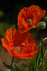 Remember summer (Kerstin Rttgerodt - busy) Tags: red rot rouge rojo poppy rosso lal mohn mohnblten kerstini