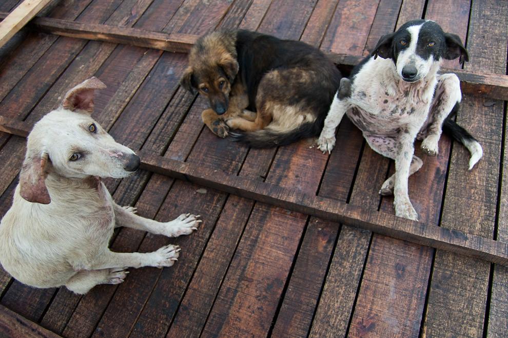Mascotas afectadas por la Leishmaniasis se sientan sobre lo que seria el piso de una casa durante la etapa de construcción de los cimientos y pisos. (Elton Núñez - Asunción, Paraguay)