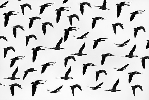 フリー写真素材, 動物, 鳥類, 群れ・大群, モノクロ写真,