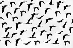 [フリー画像] 動物, 鳥類, 群れ・大群, モノクロ写真, 201010041700