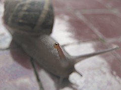 Eye  See You~~~~ (GGoddessS) Tags: macro eye nature see shell snail slug escargot slimy storybookwinner