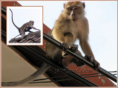 Monkeys at the rooftop and on telephone cables